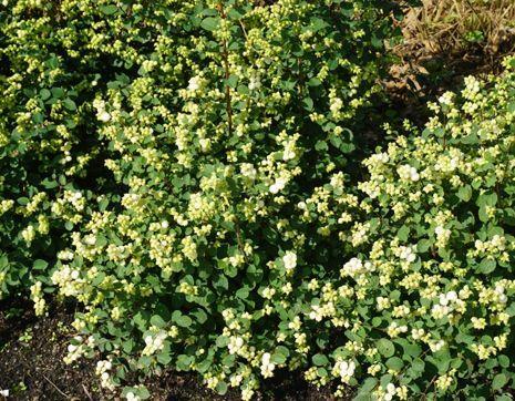 Быстрорастущие кустарники для живой изгороди: советы по выбору кустов, рекомендации по посадке и уходу