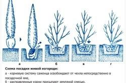 Живая изгородь из ивы своими руками: пошаговая инструкция